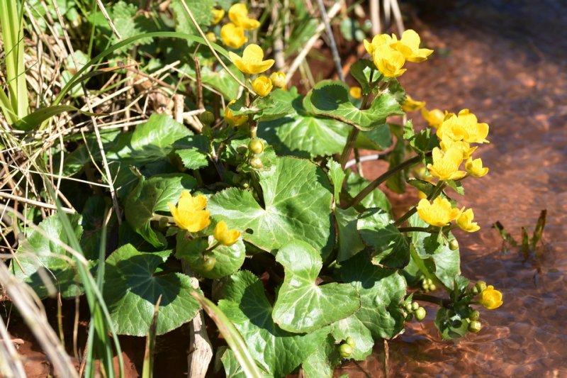 Sumpfdotterblume / Populage de marais (Caltha palustris)