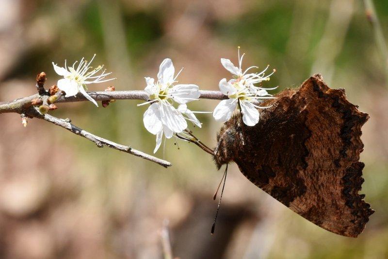 Schlehe, Schwarzdorn / Prunelliers (Prunus spinosa)