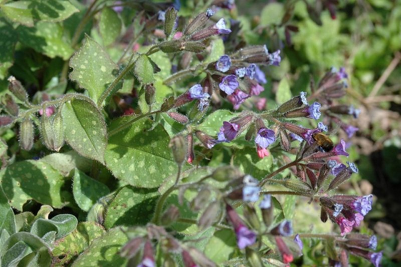 La pulmonaire (Pulmonaria officinalis)