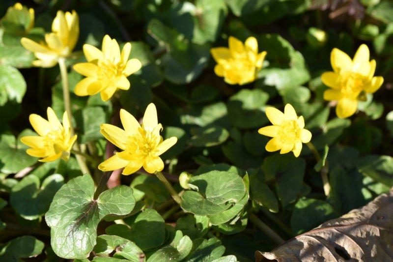 Scharbockskraut / Ficaire (Ranunculus ficaria)